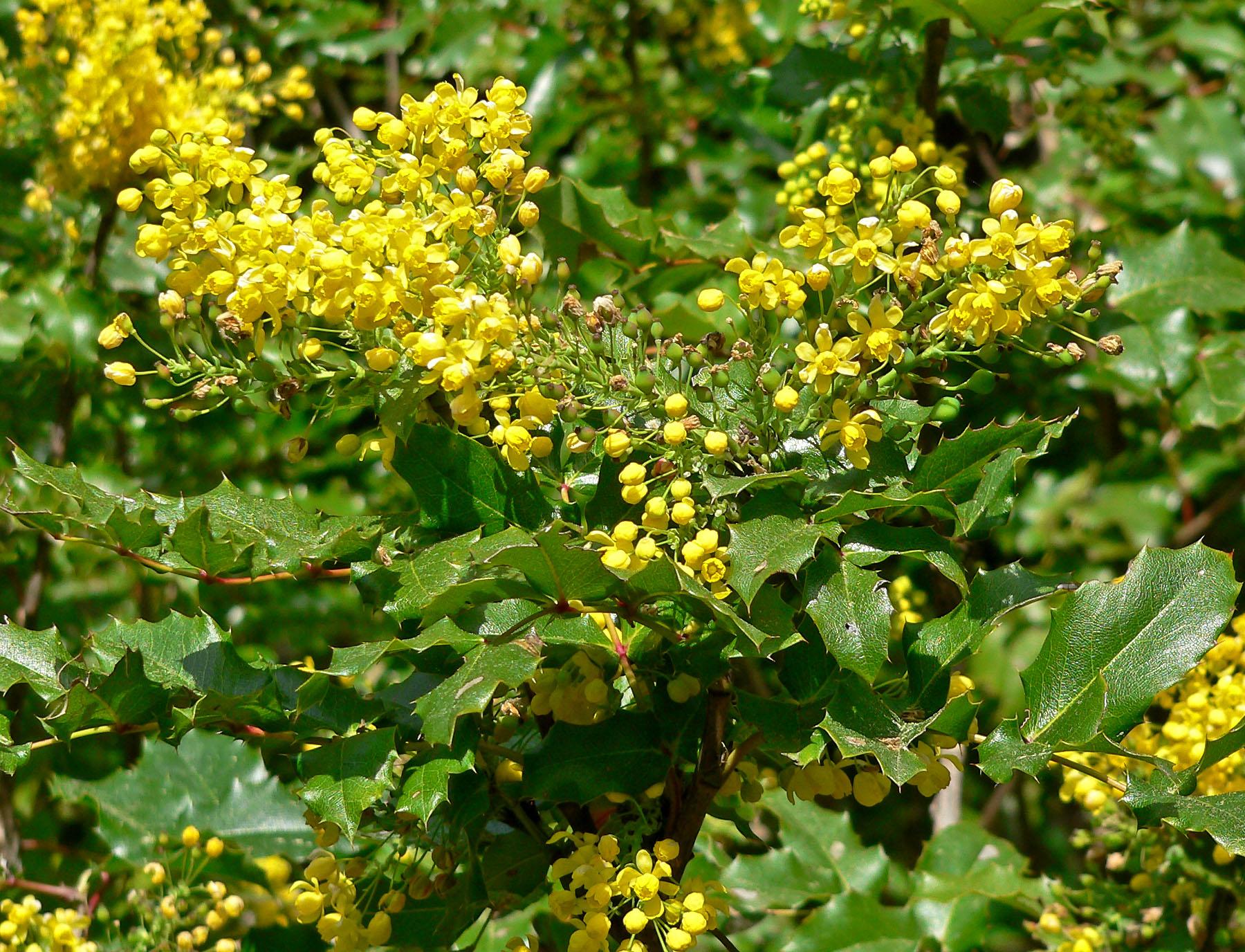Fiori Gialli A Grappolo.Mahonia Berberidaceae